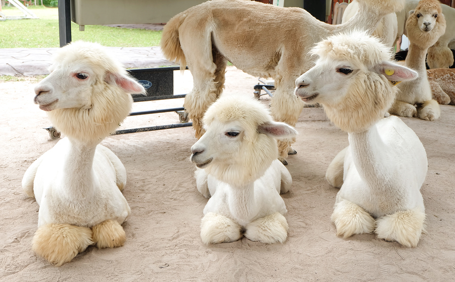 Alpaca Farms UK