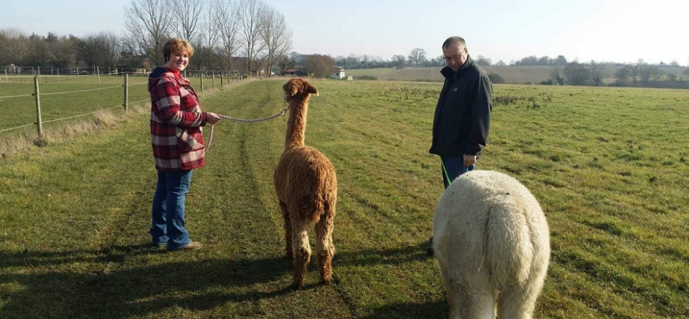 Alpaca Walking Suffolk